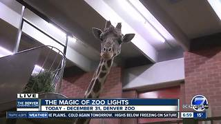 Zoo Lights giraffes - Video