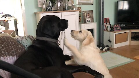 Labrador patiently tolerates overly-playful puppy