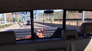 This Dog Is Crazy Happy Driving
