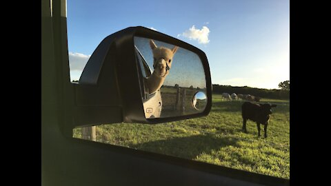 Back Seat Driver How We Rolled - Loading Our Alpacas For A Trip Into Houston