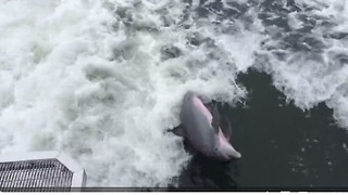Playful dolphin swims in boat's wake - Video