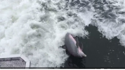 Playful dolphin swims in boat's wake