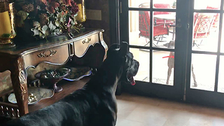 Persistent Pointer Wants Great Dane to Come Out and Play  - Video