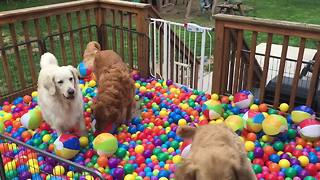 Golden Retrievers get surprise ball-pit birthday party