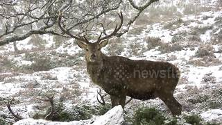 Red deer stags shelter in Highlands during snowfall - Video