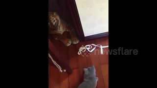 Cat scared by toy tiger - Video