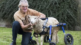 Adorable disabled lamb learns to walk again thanks to special wheelchair - Video