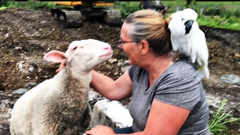 Affectionate sheep demands attention from farmer