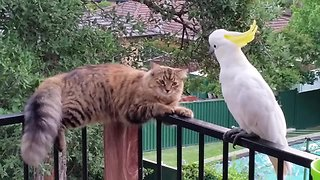 Wild cockatoo and friendly cat are best buddies