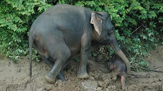 Elephant Saves Baby Calf From Drowning In River - Video