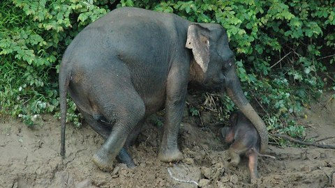 Elephant Saves Baby Calf From Drowning In River