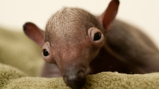 Incredibly Cute Baby Anteater - Video