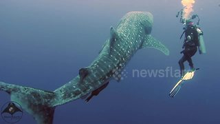 Magical moment divers meets juvenile whale shark - Video