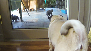 Kittens taught frustrated pug through glass door