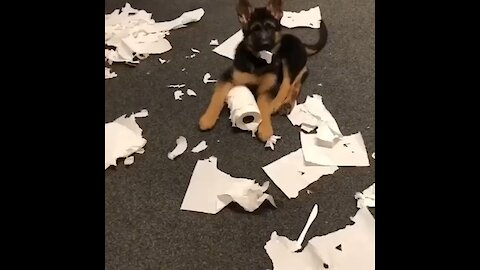 German Shepherd puppy makes huge mess