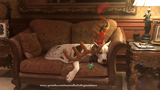 "Great Dane ""enthusiastically"" plays reindeer toss game"