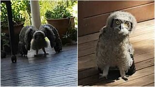 Funny young owl thinks it's scary!