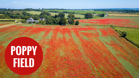 Thousands of poppies have burst into bloom in Wiltshire