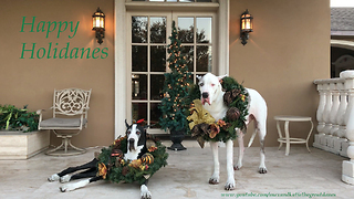 Great Danes sing along to Christmas songs - Video