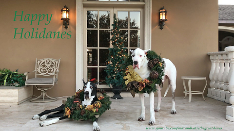 Great Danes sing along to Christmas songs