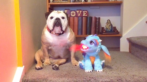 Khaleesi the Bulldog and her dragon friend