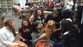 Therapy dogs at Florida Atlantic University - Video