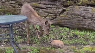 Wild deer really wants to befriend little bunny rabbit
