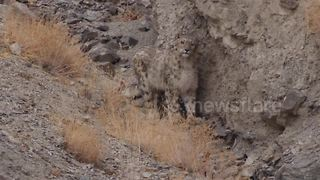 Curious Snow Leopard stares into camera in North India - Video