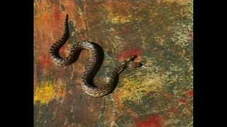 Two Headed Snake - Video