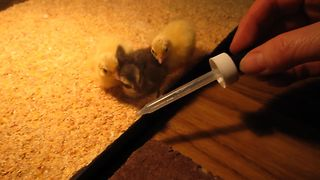 Baby Chicks Follow Eye Dropper - Video