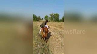 Funny cow riding fail in Thailand - Video