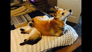 Shiba Inu thrilled to have new kitten friend