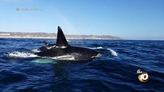 Orcas spotted off the coast of La Jolla - Video
