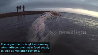Humpback whale dies off South African coast possibly after swallowing plastic - Video