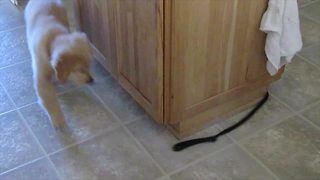"""Puppy Chases The Other End Of Its Own Leash Around A Kitchen Island"""