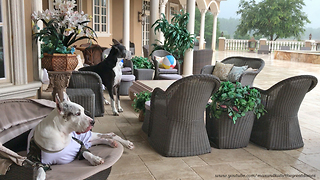 Great Danes Enjoy Rain Storm With Their Dad  - Video