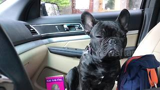 Adorable French bulldog struggles to stay awake while sitting up - Video
