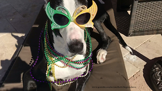 Katie the Great Dane Gets Ready to Party