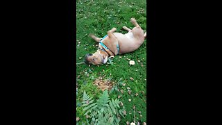 Itchy dog can't stop scratching in nature - Video