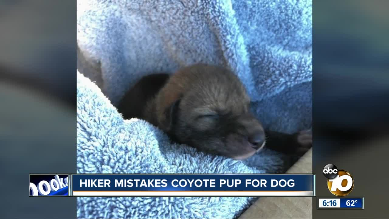 San Diego hiker mistakes coyote pup for dog