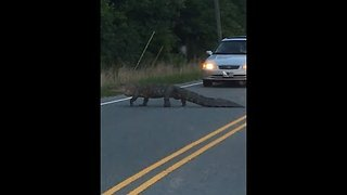 Why Did the Alligator Cross the Road? To Disrupt Traffic - Video