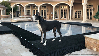 Funny Great Danes Enjoy Playing on Pool Cover Dance Floor  - Video