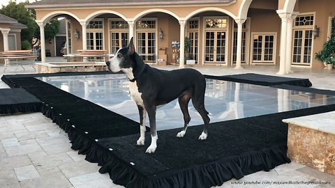 Funny Great Danes Enjoy Playing on Pool Cover Dance Floor