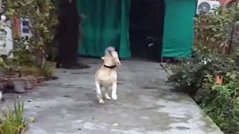 Dog is so crazy to go for a walk. Brings his leash to the owner to take him out for walk.