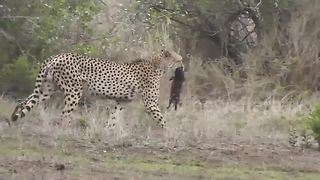 Two cheetahs kill warthog piglets in Kruger National Park - Video