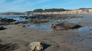 Drone captures elephant seal sunbathing on California beach - Video