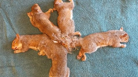 Five fortunate squirrels rescued after being discovered with their tails tangled together