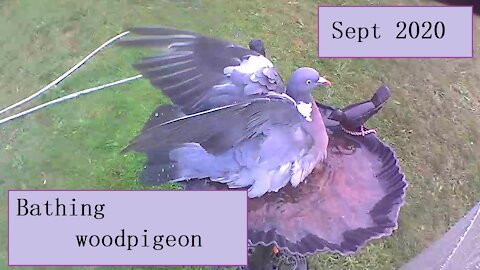 Bathing woodpigeon in our birdbath - it just about fits in
