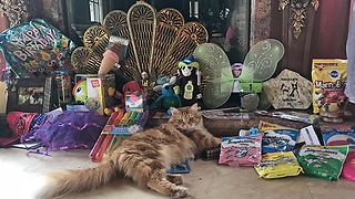 Happy Cat Enjoys Great Dane Birthday Party Gifts  - Video