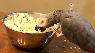 Parrot struggles to eat popcorn from a spinning bowl